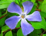 blue_flowerpreview_0.jpg