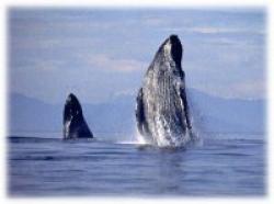Balene albastre
