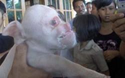 porc cu cap de maimuta