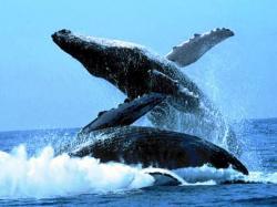 comportamentul balenelor