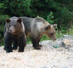 custi capcana pentru ursi