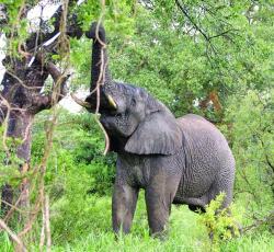 extinctia elefantilor africani