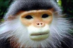 maimutele pe cale de disparitie
