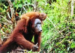 maimute pe cale de disparitie