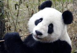 urs panda urias