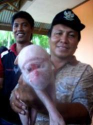 porcul maimuta