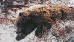 ursii din pirinei