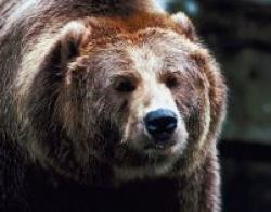 ursul ucigas brasov