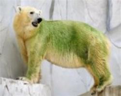 ursi polari verzi