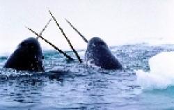 balena cu corn - narval