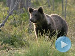 carne de urs