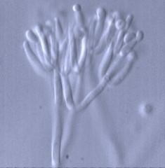 Gliocladium roseum