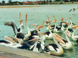 pelicani