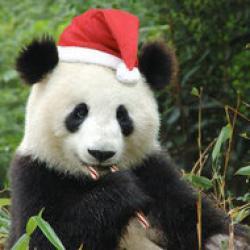 salvati un urs panda