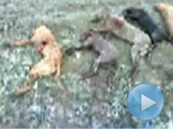 17 caini omorati