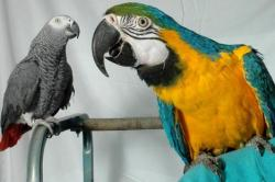 barney papagal african