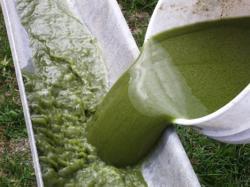 biodiesel din alge