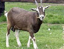 3 milioane de lei din vanzarea lactatelor bio de capra