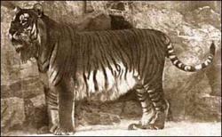 tigru caspian