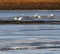 egrete si rate la iernat pe bega