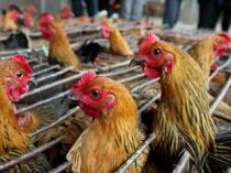 Sute de mii de pasari sacrificate - Gripa aviara loveste Japonia