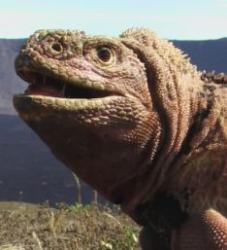iguana roz