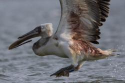 pelican-cret-ranit_resize.jpg