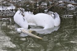 pelican-cret_resize.jpg
