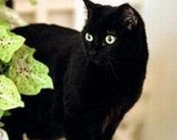 pisica india