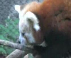 pui de panda rosu