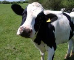 taxa pe vaca
