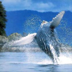 vanatoarea de balene