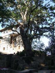 arbori monumentali