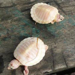 broaste testoase albinoase