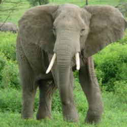 elefantii din asia