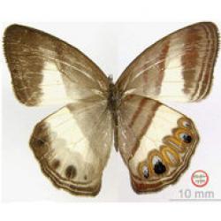 fluturele cu mustata