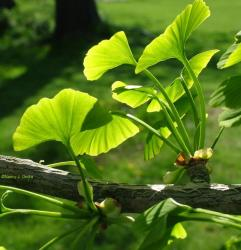 ginkgo-biloba-leaves-april-30-081.jpg