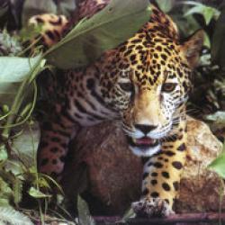 jaguar cu GPS