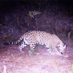 jaguar in mexic