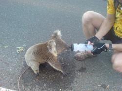 koala insetat