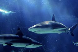 Comisia Europeana vrea sa salveze rechinii