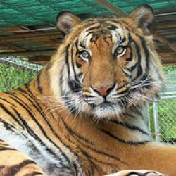 subspecie rara de tigru