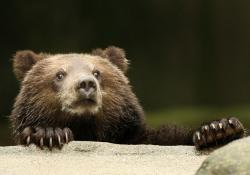 urs carpatin