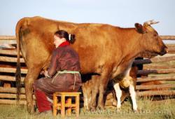 vaci siberia