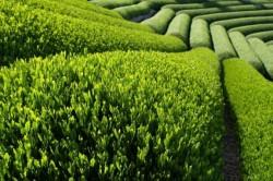 Ceaiul verde îmbun?t??e?te memoria ?i capacitatea de înv??are