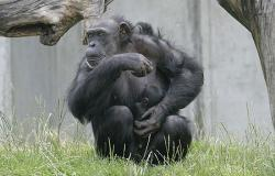 cimpanzeu.jpg