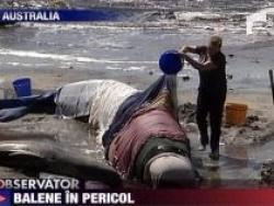 salvare balene