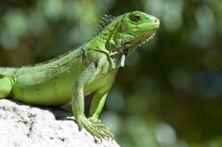 Dintre reptilele de ap? dulce, o treime sunt considerate aproape de extinc?ie