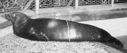 foca calugar