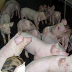 gripa porcina si gripa sezoniera